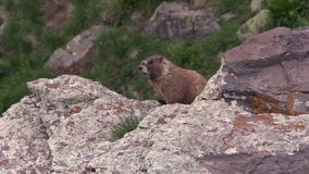 Marmot on Rock Outcrop stock footage