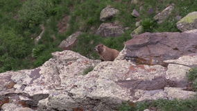 Marmot on Rock Outcrop Zoom In stock video