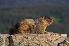 Marmot on a Rock Wall Stock Images