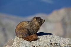 Marmot on a Rock. A yelow bellied marmot above timberline sitting on a rock royalty free stock photography
