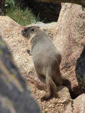 Marmot in the Rocks. Marmot ambling through the rocks in the high tundra of the Rocky Mountains stock image