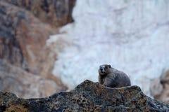 Marmot on rocks and a glacier. Stock Photography