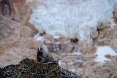 Marmot, rocks and glacier. Stock Image