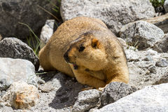 Marmot on the rocks Royalty Free Stock Photos