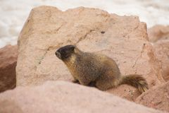 Marmot In The Rocks royalty free stock image
