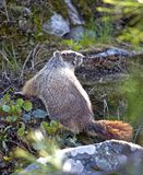 Marmot among rocks and plants. Royalty Free Stock Image