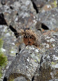Marmot on the rocks with straw Stock Photo