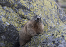 Marmot on the rocks. Tatry.  royalty free stock image
