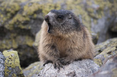 Marmot on the rocks. Tatry.  stock photography