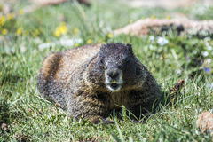Marmot on the rocks. Yellow Bellied Marmot on the grass in the Rocky Mountain National Park, Colorado Stock Images