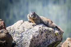 Marmot on the rocks Royalty Free Stock Images