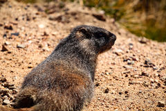 Marmot in Rocky Mountain National Park Royalty Free Stock Photography