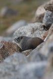 Marmot rocky mountain wildlife Stock Photo