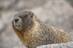 Marmot. In Rocky Mountains National Park, Colorado royalty free stock image