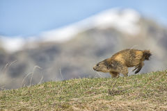 A Marmot while running Royalty Free Stock Photography