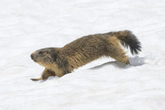 Marmot while running Royalty Free Stock Images
