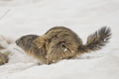 Marmot while running on the snow Stock Image