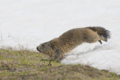 Marmot while running on the snow Stock Photos