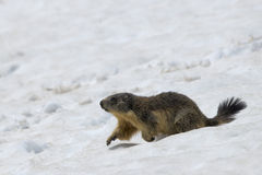 Marmot while running on the snow Stock Images