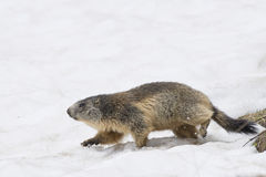 Marmot while running on the snow Royalty Free Stock Image