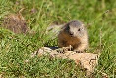 marmot s отклонения младенца Стоковое Изображение