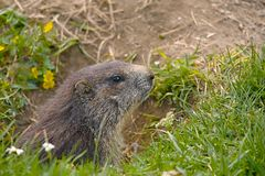Marmot in it's hole Royalty Free Stock Images