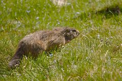 Marmot in it's hole Royalty Free Stock Photography