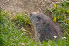 Marmot in it's hole Stock Photography