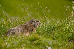 Marmot in it's hole Royalty Free Stock Photo