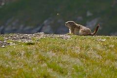 Marmot in it's hole Royalty Free Stock Photos