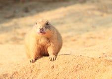 Marmot. Sandy marmot on a sand hill royalty free stock photography