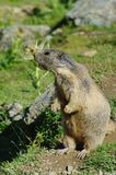 Marmot Screaming - Saas Fee, Landmark Attraction In Switzerland Stock Images