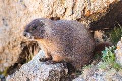 Marmot se reposant sur la roche en haut du bâti Evans, le Colorado Images libres de droits