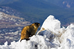 Marmot seen on the top of Mt Evans Royalty Free Stock Image