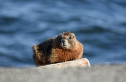 Marmot sentry. An adult marmot sits on a rock looking into the camera Royalty Free Stock Photography