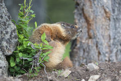 Marmot with seven year itch Royalty Free Stock Image