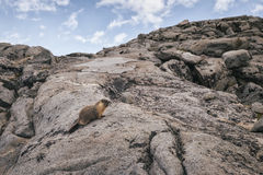 Marmot in the Sierra Nevada Mountains Stock Images