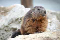 Marmot sitting on cliff royalty free stock photos