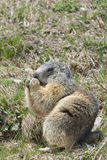 marmot sitting and eating Stock Images