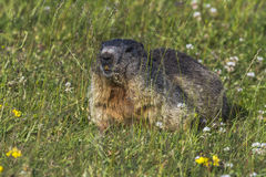 Marmot. A marmot is sitting in the grass stock photos