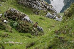 Marmot is looking out on mountain alp Royalty Free Stock Images