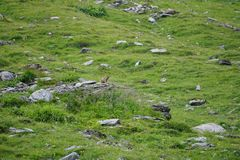 Marmot sitting on a green grass field in the mountains watching out. Marmot sitting on green grass field in the mountains watching out Stock Photo