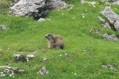 Marmot sitting on a green grass field in the mountains watching out. Marmot sitting on green grass field in the mountains watching out Stock Photography