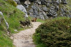 Marmot sitting on hiking trail and looks whats happening Royalty Free Stock Photos