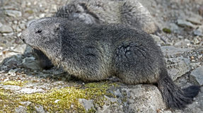 Marmot 4 Royalty Free Stock Images