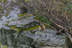 Marmot sitting on a rock Royalty Free Stock Photography
