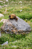 Marmot sitting on a rock in the mountains Stock Images