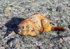 Marmot sitting on rocks Stock Images