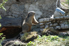 Marmot. Somewhere in Alps in Switzerland Royalty Free Stock Photography