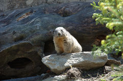 Marmot. Somewhere in Alps in Switzerland royalty free stock images